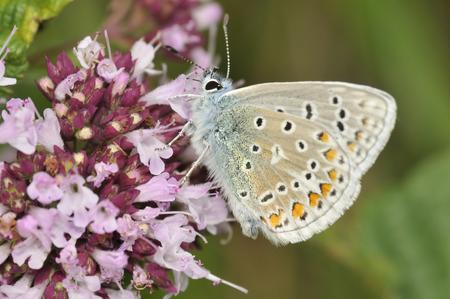 Common Blue Butterfly - Polyommatus icarus on Marjoram - Origanum vulgare