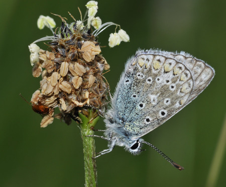 Common Blue - Polyommatus icarus on Ribwort Plantain seed head
