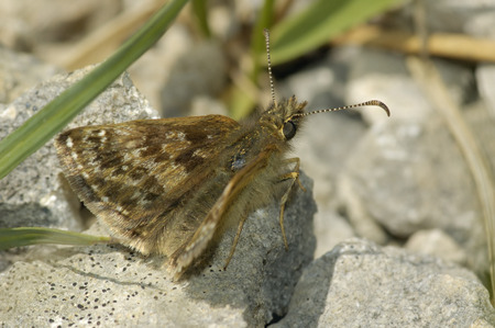 Dingy Skipper - Erynnis tages Imagens