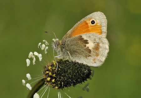 Small Heath - Coenonympha pamphilus Underside on Plantain flower