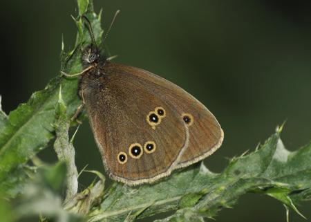 Ringlet Butterfly - Aphantopus hyperantus Resting on Thistle