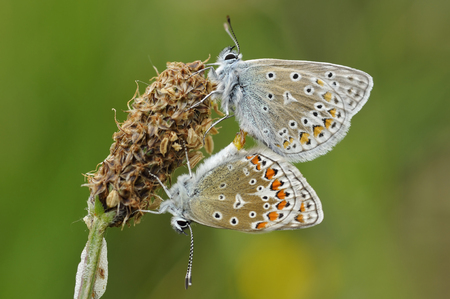 Common Blue - Polyommatus icarus Pair mating on Ribwort Plantain seed head Stock Photo