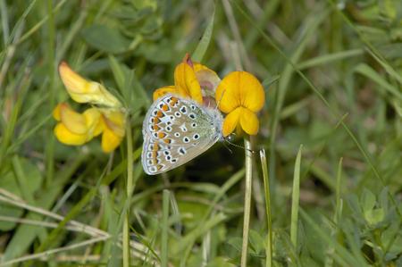 Common Blue female - Polyommatus icarus Blue female on yellow trefoil flower