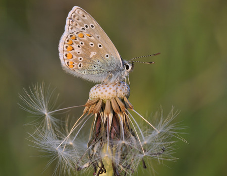 Common Blue Butterfly - Polyommatus icarus On Dandilion seed head Stock fotó