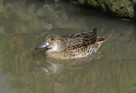 Baikal Teal - Anas formosa Female duck from East Siberia
