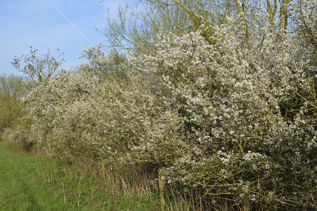 Blackthorn Hedge in flower - Prunus spinosa Cotswold Water Park Stock Photo