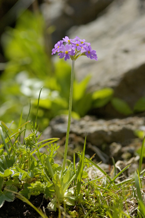 Bird's-eye Primrose - Primula farinosa Whole plant with flower against rocky background