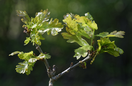 Pedunculate English Oak - Quercus robur New leaves with Catkins