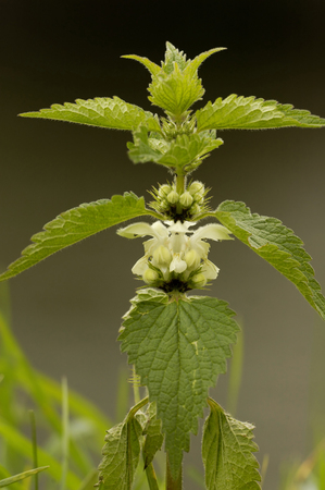 White Dead-nettle - Lamium albumSingle plant in flower against diffused graduated background.