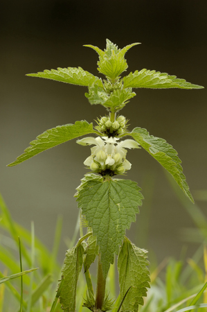 White Dead-nettle - Lamium album Single plant in flower against diffused graduated background.