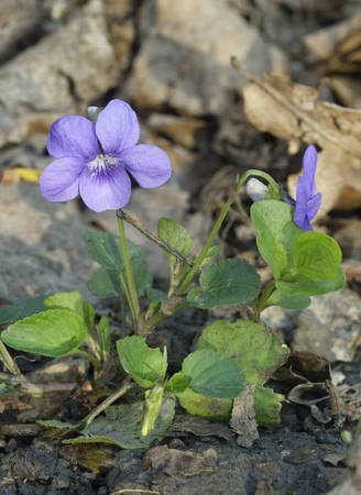 Common Dog-violet - Viola riviniana Whole plant with two flowers Standard-Bild