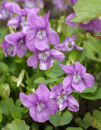 Viola cordifolia Violet flower from China