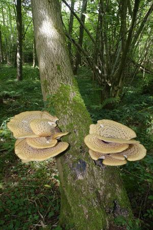Dryads Saddle Bracket fungi - Polyporus squamosus  in woodland habitat