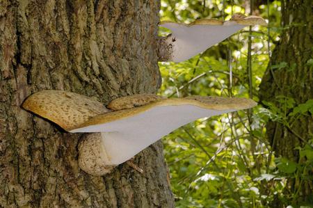 Dryads Saddle - Polyporus squamosus, on trunk of Ash tree Stock Photo
