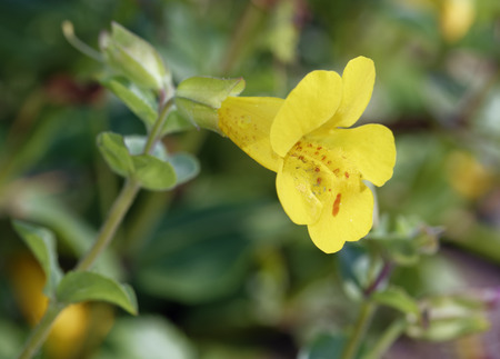 Monkey Flower - Mimulus guttatus Yellow Flower found in Scottish Highlands