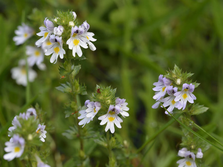 Arctic Eyebright - Euphrasia arctica borealis Glen Feshie, Cairngorm Mountains,Scotland