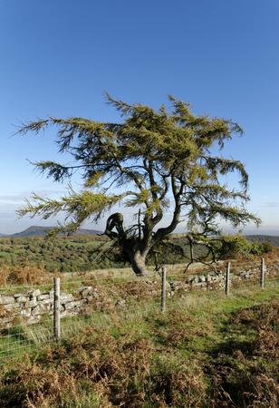 European Larch - Larix decidua  on lower slopes of Sugar Loaf, Abergavenny, Monmouthshire, Wales