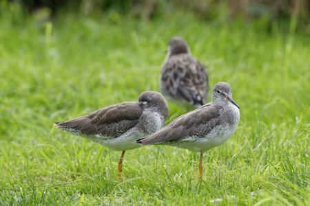 Two Redshank - Tringa totanus  on grass with Ruff behind