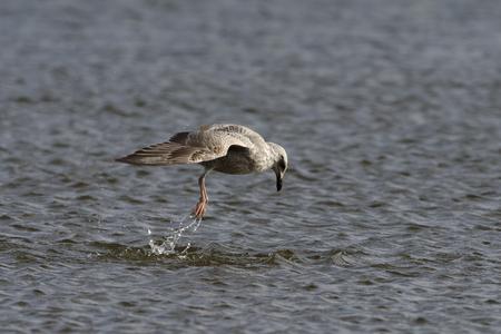 Herring Gull - Larus argentatus  Juvenile jump diving for snails