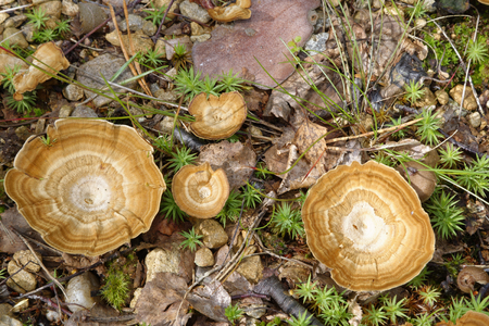 Tiger's Eye or Fairy's Stool - Coltricia perennis  Bracket Fungus from Caledonian Pine Forest, Scotland