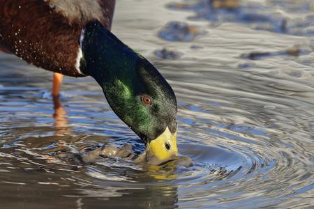 Male Mallard - Anas platyrhynchos Feeding in muddy pool Stock Photo