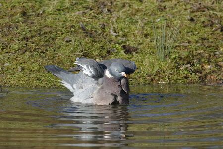 Wood Pigeon - Columba palumbus