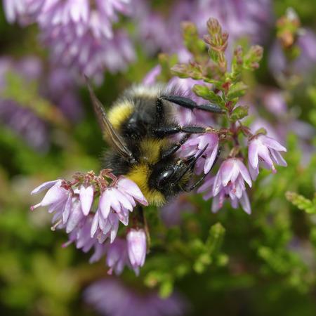 Buff-tailed Bumblebee - Bombus terrestris  on Heather - Calluna vulgaris
