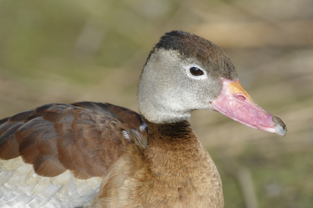 Black-bellied Whistling-duck - Dendrocygna autumnalis Closeup of head Stock Photo