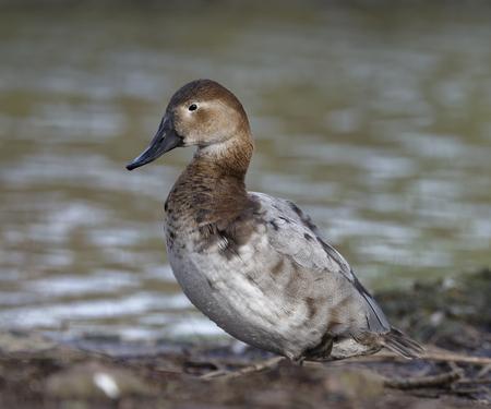 Canvasback Duck - Aythya valisineria  Female standing by water Reklamní fotografie