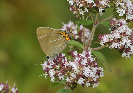 White-letter Hairstreak - Satyrium w-album On Marjoram - Origanum vulgare Stock fotó