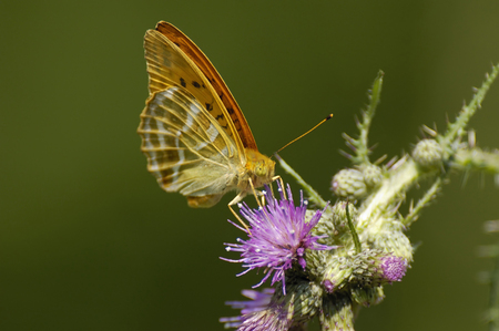 Silver-washed Fritillary - Argynnis paphia On thistle