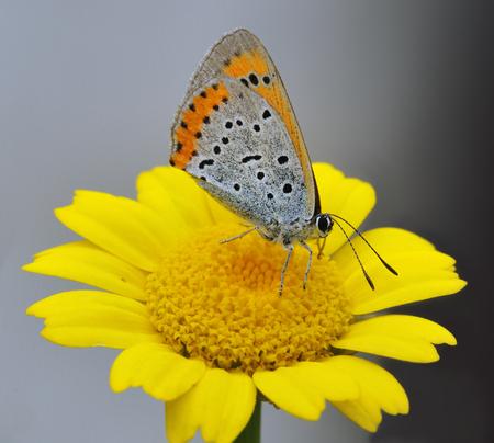 Large Copper Butterfly - Lycaena disparFemale Underside