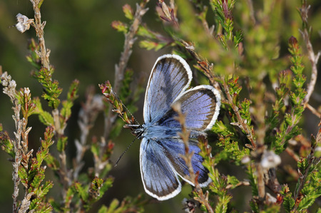 Silver-studded Blue Butterfly - Plebejus argus Male upperside in Heather environment