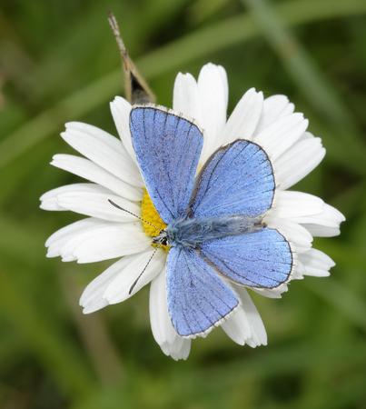 Adonis blauwe vlinder - Lysandra bellargus mannetje op Oxeye Daisy - Leucanthemum vulgare met vrouwtje hieronder