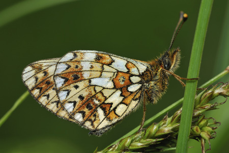 Small Pearl-border Fritillary Butterfly - Boloria selene Underside, on grass