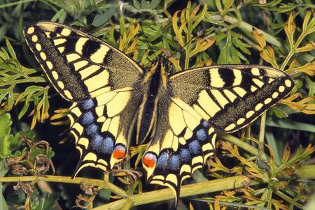 Swallowtail Butterfly - Papilio machaonAt rest wings open