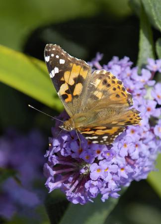 Painted Lady - Vanessa cardui Feeding wings open on Budlia bush Imagens