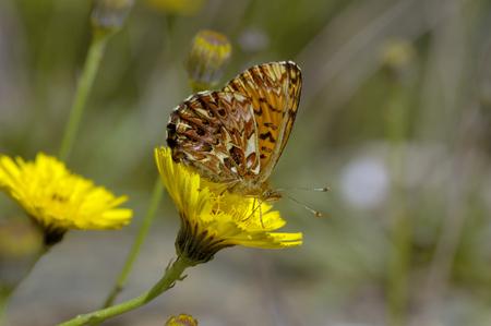 Titania's Fritillary - Titania's FritillaryUnderside, on yellow flower