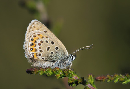 Silver-studded Blue Butterfly - Plebejus argus