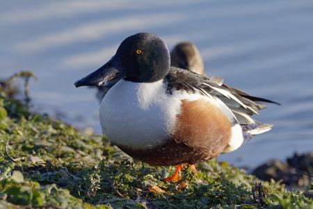 Northern Shoveler - Anas (Spatula) clypeata  Male Duck walking
