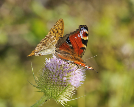 Peacock - Inachis io and Silver-washed Fritillary - Argynnis paphia Butterflies feeding on Teasel flower - Dipsacus fullonum Stock Photo