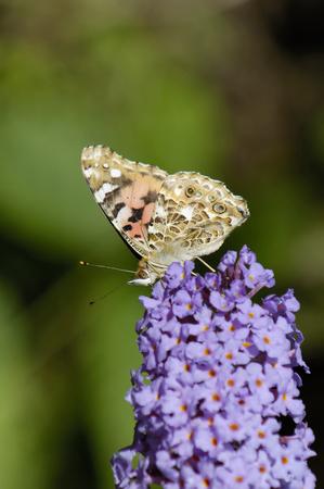 Painted Lady - Vanessa cardui Feeding wings closed on Budlia bush Imagens