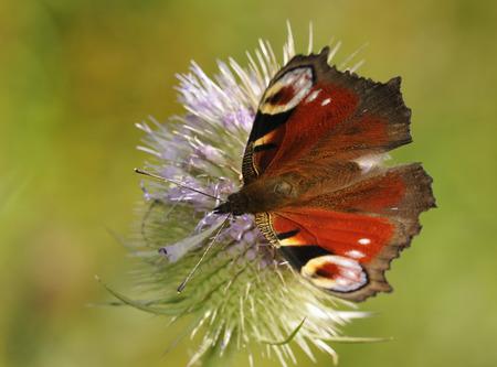 Peacock Butterfly - Inachis io Feeding on Teasel flower - Dipsacus fullonum