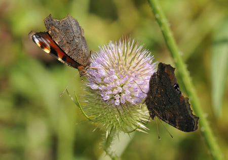 Two Peacock Butterflies - Inachis io Feeding on Teasel flower - Dipsacus fullonum Stock Photo