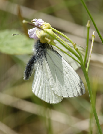Crab Spider with Green-veined White Butterfly - Pieris napi Prey