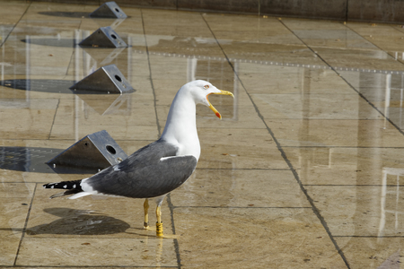 Lesser Black-backed Gull - Larus fuscus  Urban Seagull in City Fountain Reklamní fotografie