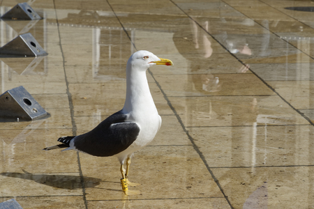 Lesser Black-backed Gull - Larus fuscus  Urban Seagull with reflection in City Fountain