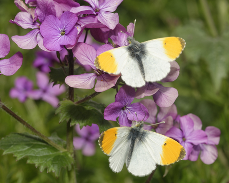 Orange Tip Butterfly - Anthocharis cardamines  Two Males on Honesty flowers - Lunaria annua