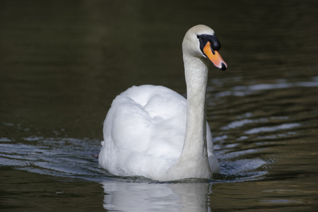 Mute Swan - Cygnus olor  Cob Swimming against dark water