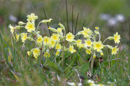 False Oxlip - Primula x polyantha A natural hybrid of Primrose - Primula vulgaris, and Cowslip - Primula veris